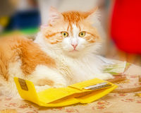 Red cat and yellow purse Stock Photos