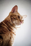 The red cat. Young red cat with clean and careful eyes Royalty Free Stock Photos