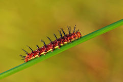 Red caterpillar on a branch. A red caterpillar walk through the branch Royalty Free Stock Images