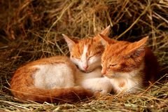 Red cats in the hay in a horse farm in the countryside royalty free stock image