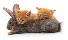 Red cats and rabbit. stock image
