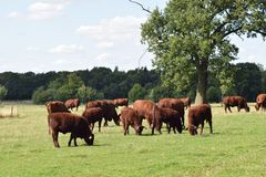 Red cattle grazing in a field, England UK Stock Photography