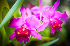 Red cattleya orchid. In natural light Royalty Free Stock Photography