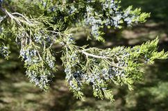Red Cedar. A branch of the evergreen red cedar, Juniperus virginiana, with berries. The tree is also called juniper and its berries are used to flavor gin stock photography