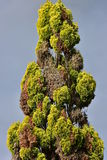 Red cedar tree top. Conical tree top of red cedar tree with some dry branches Stock Images