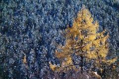 Red cedar trees Royalty Free Stock Photos