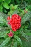 Red Celosia argentea flower Stock Photo