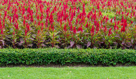 Red Celosia argentea Royalty Free Stock Photography