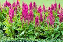 Red Celosia argentea Royalty Free Stock Photo