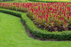Red Celosia argentea Royalty Free Stock Images