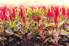 Red Celosia argentea Stock Photography