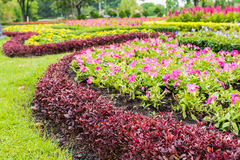 Red Celosia argentea Stock Images