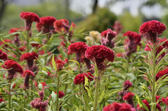 Red Celosia Cristata. Stock Images