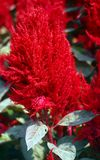 Red Celosia flower Stock Photo