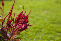 Red Celosia flower Stock Photography