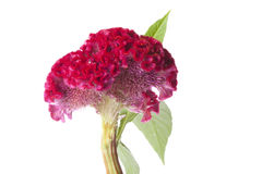 Red Celosia flower. On white background Stock Photos