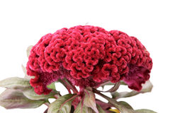 Red celosia flower Stock Image