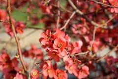 Chaenomeles flower in spring. Red Chaenomeles flower branch in the garden in spring royalty free stock image