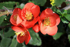 Red Chaenomeles Royalty Free Stock Photos