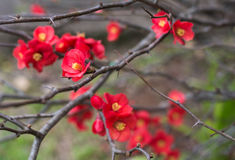 The red chaenomeles little flowers in winter garden in Toowoomba, Australia stock photography