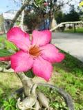 Red Champa flower in garden.  Stock Photos