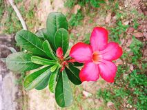 Red Champa flower in garden.  Royalty Free Stock Photography