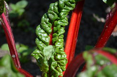Red Chard (Betula vulgaris cicla). Closeup of the edible Mangold or Red or Swiss chard (Betula vulgaris cicla Stock Images