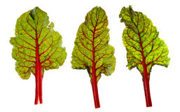 Red Chard Leaves Royalty Free Stock Photos