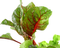 Red Chard Lettuce Stock Image