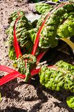 Red chard or red mangold Royalty Free Stock Images