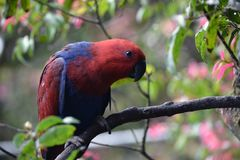 Red Chattaring Lory Stock Image