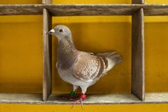 Red check feather color of speed racing pigeon perching in home loft stock photography