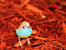 Red-cheeked Cordon-bleu bird in wood chips Royalty Free Stock Images