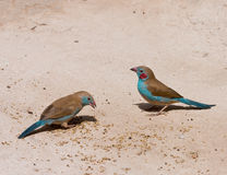Red-cheeked Cordon-Bleu pair Royalty Free Stock Photography
