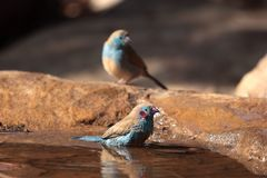 Red-cheeked Cordon-bleu. On a waterhole in the Ethiopian Mountains stock photography
