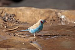Red-cheeked Cordonbleu. ARed-cheeked Cordonbleu on a waterhole in the Ethiopian Mountains stock image