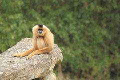 Red-cheeked gibbon. Sitting on the rock royalty free stock photos