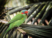 Red cheeked parrot on palm frond Royalty Free Stock Photos