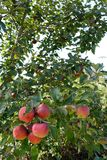 Ripe apples on the apple tree. Red-cheeked ripe apples hanging on apple tree - close up Royalty Free Stock Photos