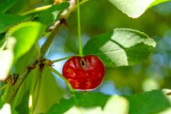 Red cheery with wormhole on the branch of a tree. In the garden royalty free stock photo