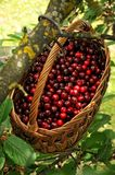 Red cherries in a basket. Sweet red cherries in a basket hanging on a branch Stock Photos