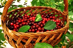 Red cherries in a basket. Sweet red cherries in a basket hanging on a branch Royalty Free Stock Photos