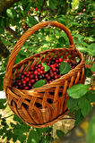 Red cherries in a basket. Sweet red cherries in a basket hanging on a branch Stock Images