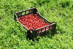 Red Cherries Stock Photos