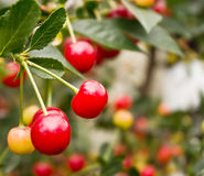 Red cherries on a branch Stock Photo