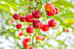 Red cherries on a branch with green leaves, close up Stock Photo