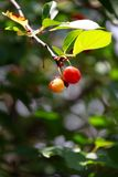 Red cherries on the branch Stock Image