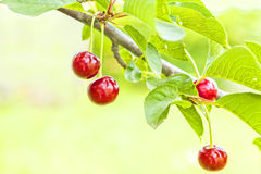 Red cherries on a branch with leaves, close up Stock Photography