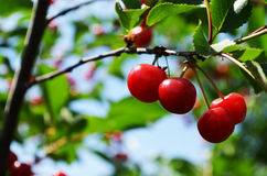 Red cherries on a branch Royalty Free Stock Photo