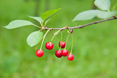 Red cherries on the branches, summer day Royalty Free Stock Photo